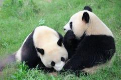 Due panda svegli Fotografia Stock Libera da Diritti