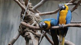 Due pappagalli blu, uccelliera di regno dell'uccello, cascate del Niagara, Canada Immagine Stock