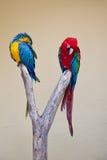 Due pappagalli brillantemente colorati di Amazon Immagini Stock