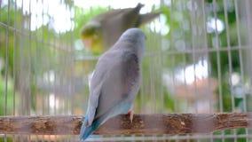 Due pappagalli minuscoli su legno dentro la gabbia stock footage