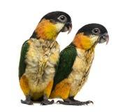 Due pappagalli Nero-ricoperti giovani (vecchio 10 settimane) immagine stock