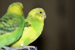 due pappagalli ondulati si siedono su una gabbia immagini stock