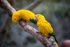 Due pappagalli si siedono insieme sul ramo nello zoo in Tenerife, Spagna Fotografia Stock