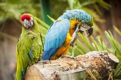 Due pappagalli su un ceppo all'interno di una regolazione tropicale Fotografia Stock Libera da Diritti