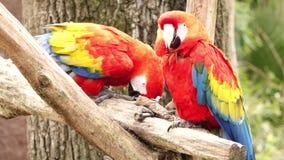 Due pappagalli su un ramo di albero archivi video