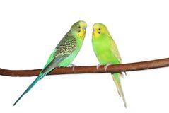 Due pappagallini ondulati verde intenso che si siedono sul ramo Isolato su bianco Fotografia Stock Libera da Diritti