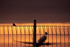 Due passeri si appollaiano su un recinto del ferro con un fondo piano della sfuocatura che decolla al crepuscolo caldo ed arancio immagine stock