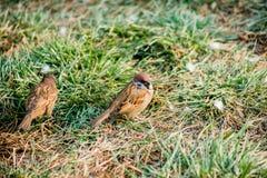 Due passeri sull'erba Fotografie Stock Libere da Diritti