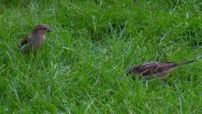 Due passeri sull'erba video d archivio