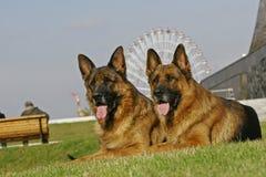 Due pastori tedeschi fotografia stock libera da diritti