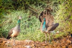 Due pavoni femmina Fotografia Stock