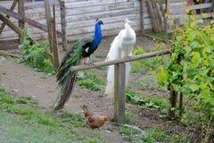 Due pavoni maschii sulla pertica Fotografia Stock Libera da Diritti