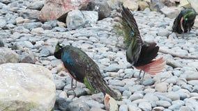 Due pavoni nella stagione di accoppiamento, uccelli esotici, fauna tropicale, coda del ` s del pavone archivi video