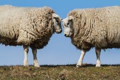 Due pecore Fotografie Stock