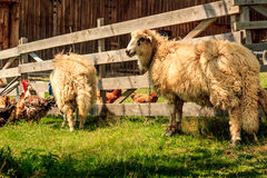 Due pecore Fotografia Stock Libera da Diritti