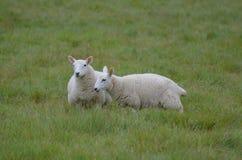 Due pecore bianche adorabili che pascono un campo Immagine Stock
