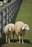 Due pecore bianche che si levano in piedi vicino alla rete fissa fotografie stock libere da diritti