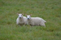 Due pecore bianche in un campo erboso Fotografie Stock