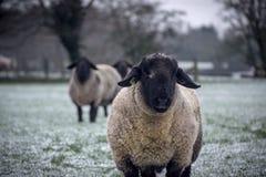 Due pecore che esaminano la macchina fotografica Immagine Stock