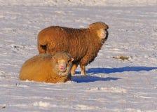 Due pecore che pascono Immagine Stock Libera da Diritti