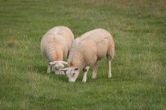 Due pecore che pascono fotografie stock libere da diritti