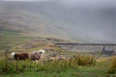 Due pecore che pascono liberamente nella campagna inglese il giorno nuvoloso fotografie stock libere da diritti
