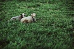 Due pecore che riposano sul prato inglese Fotografia Stock Libera da Diritti