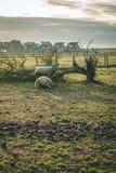 Due pecore che risiedono nell'erba durante l'inverno fotografia stock