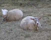 Due pecore che si trovano sul prato inglese Immagini Stock Libere da Diritti