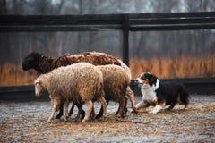 Due pecore di pascolo in bianco e nero dai capelli rossi del cane di border collie nel recinto chiuso cane crudo disciplina di sp immagine stock