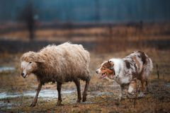 Due pecore di pascolo in bianco e nero dai capelli rossi del cane di border collie nel recinto chiuso cane crudo disciplina di sp immagine stock libera da diritti