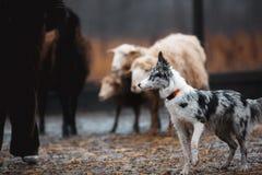 Due pecore di pascolo in bianco e nero dai capelli rossi del cane di border collie nel recinto chiuso cane crudo disciplina di sp immagini stock libere da diritti