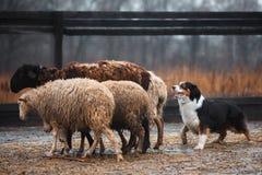 Due pecore di pascolo in bianco e nero dai capelli rossi del cane di border collie nel recinto chiuso cane crudo disciplina di sp fotografia stock libera da diritti