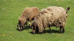 Due pecore Graze With Happiness Immagini Stock Libere da Diritti