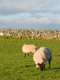 Due pecore nel prato con stonewall Fotografia Stock Libera da Diritti