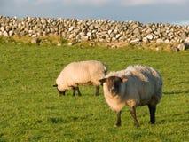 Due pecore nel prato con stonewall Fotografia Stock