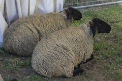 Due pecore si siedono sulla terra Fotografie Stock Libere da Diritti