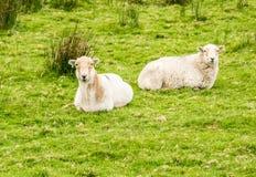 Due pecore sull'azienda agricola della montagna Fotografia Stock