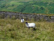 Due pecore sulla collina dalla parete Fotografia Stock