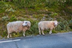 Due pecore sulla strada in montagne della Scandinavia Fotografie Stock