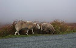Due pecore sulla strada nella foschia Fotografie Stock Libere da Diritti