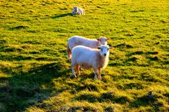 Due pecore in un campo che fissano alla macchina fotografica Fotografie Stock Libere da Diritti