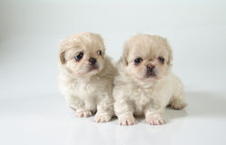 Due pekinese 4 Fotografia Stock
