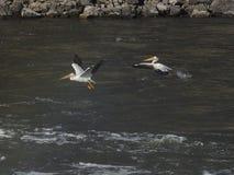 Due pellicani bianchi americani prendono il volo Fotografie Stock Libere da Diritti