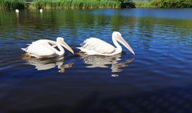 Due pellicani bianchi nello zoo della città, nuotata lungo il lago Fotografia Stock