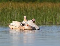 Due pellicani bianchi sull'acqua Immagine Stock