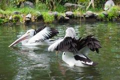 Due pellicani che galleggiano sull'acqua Immagini Stock