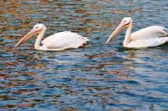 Due pellicani che nuotano Fotografie Stock