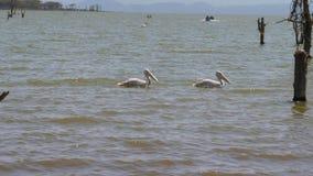 Due pellicani nuotano sul lago Naivasha in Africa fra le smagliature degli alberi stock footage