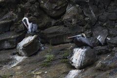 Due pellicani sulle rocce vulcaniche Immagini Stock Libere da Diritti